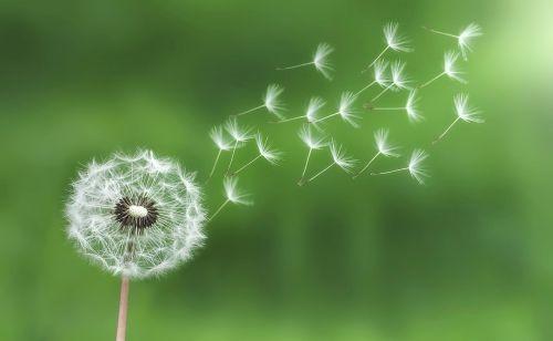 dandelion ease flight