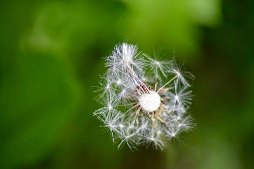 dandelion macro grassland plants