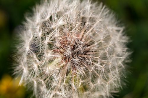 dandelion macro close