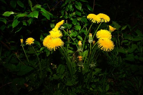 dandelion flowers yellow