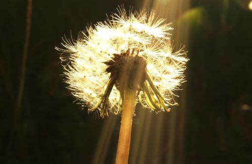 dandelion flower nature