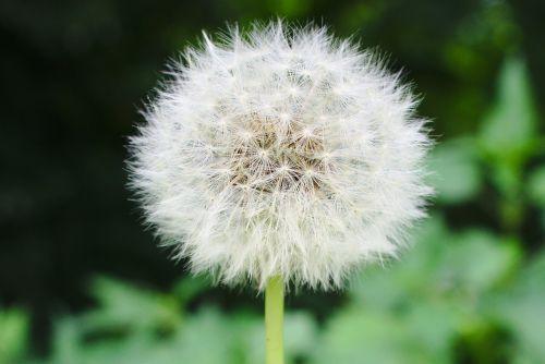 dandelion blowball seed