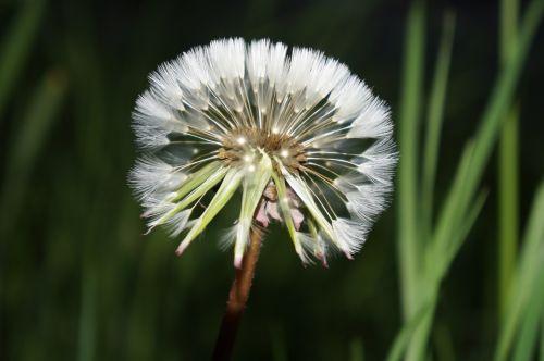 dandelion natural flowers