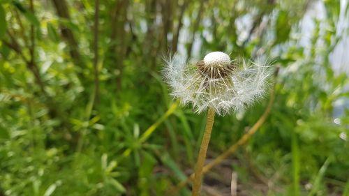 dandelion field wild flowers