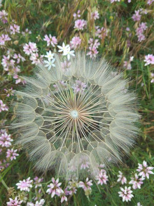 dandelion flowers flowers of the field