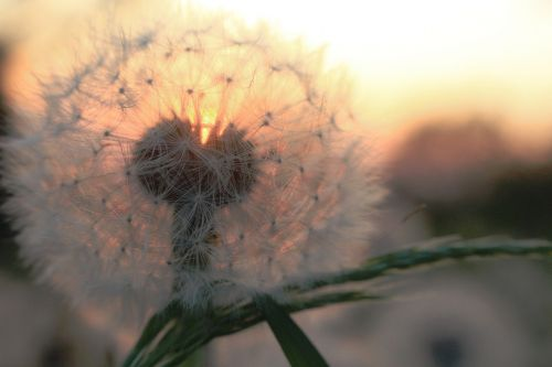 dandelion sunset summer
