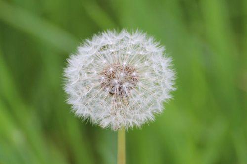 dandelion flowers seeds