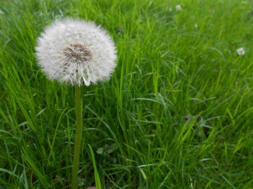 kiaulpienė,gėlės,sėklos,Uždaryti,paprastoji kiaulpienė,makro,gamta,žiedadulkės,atgal šviesa,kelyje