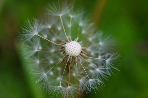 dandelion dandelion fluff macro