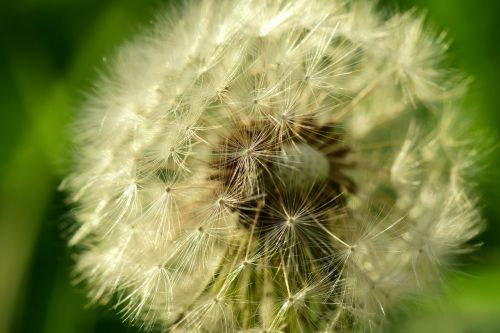 dandelion,close,seeds,wild flower,pointed flower,nature,flower,plant,macro,spring,fly,back light,country life,flying seeds,white,morning sun