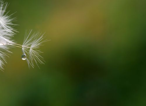dandelion seeds close