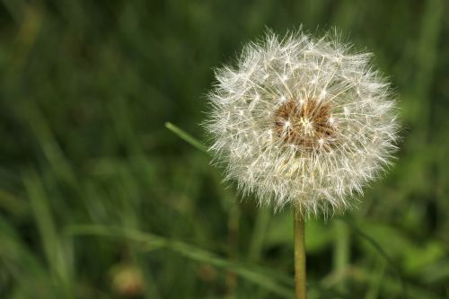 dandelion seeds garden