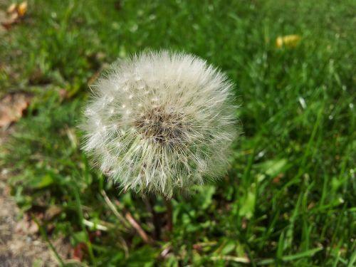 dandelion late summer summer