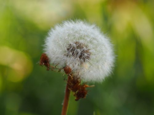 dandelion nature close