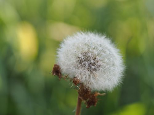 kiaulpienė,sėklos,Uždaryti,makro,gamta,žiedadulkės,žiedas,žydėti,sporos,laukinė gėlė,kelyje,sodas,aštraus gėlė