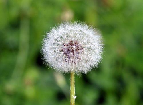 dandelion fluffy white