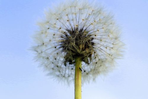 dandelion illusion fluff