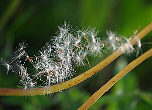 dandelion seeds stalks