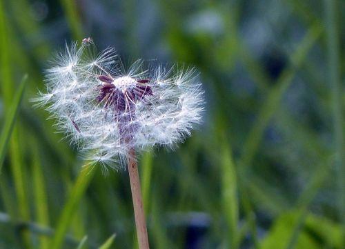 dandelion wild flower macro