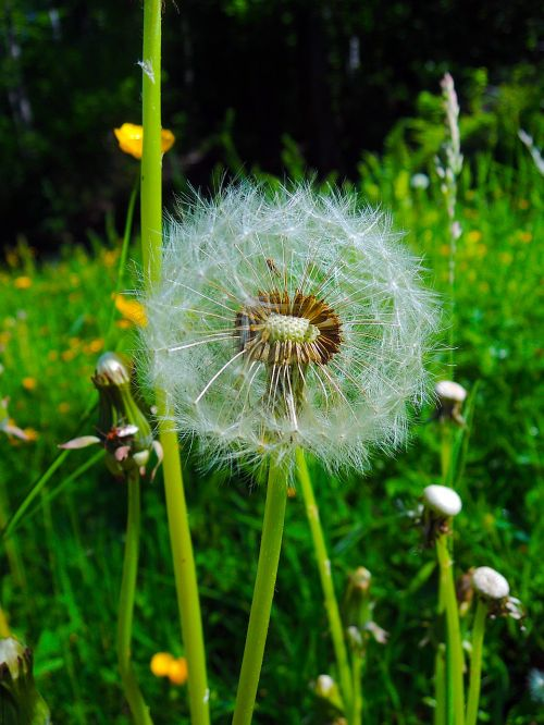 dandelion withered nature