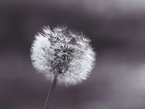 dandelion plant close