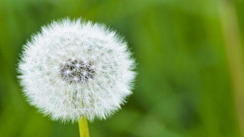 dandelion dust natural