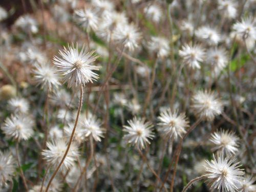 dandelion garden flowers