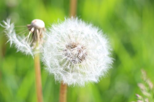 dandelion fluff of a dandelion flower