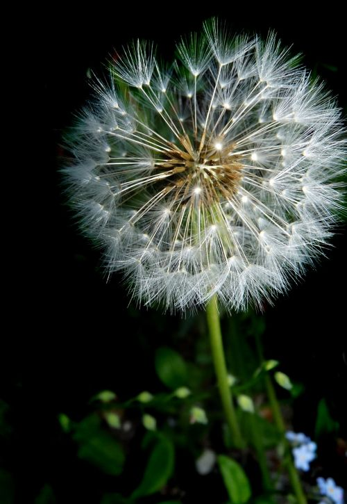 dandelion seed head fragile