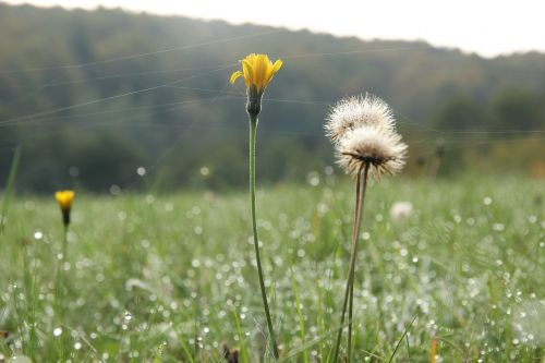 dandelion cobwebs plantlets