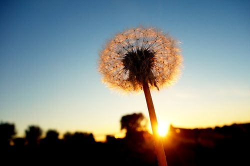 dandelion dandelion puff-ball seed