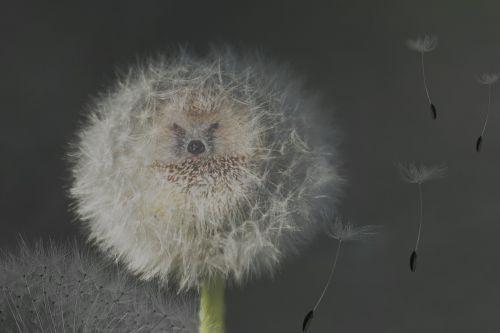 dandelion nature seeds