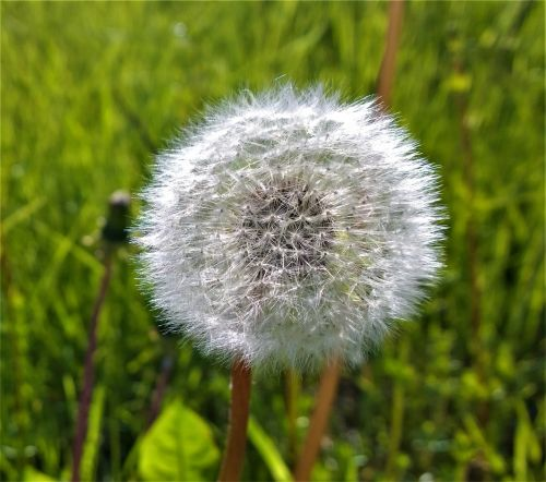 dandelion weeds seedpod
