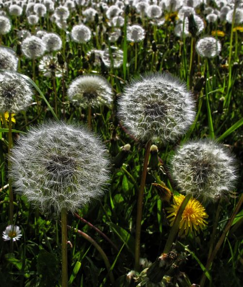 dandelion flight screens achaenen