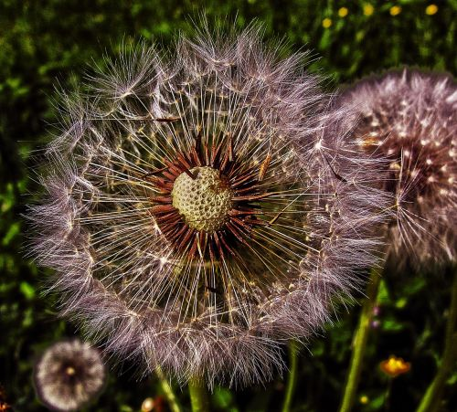 dandelion flight screens achaenen