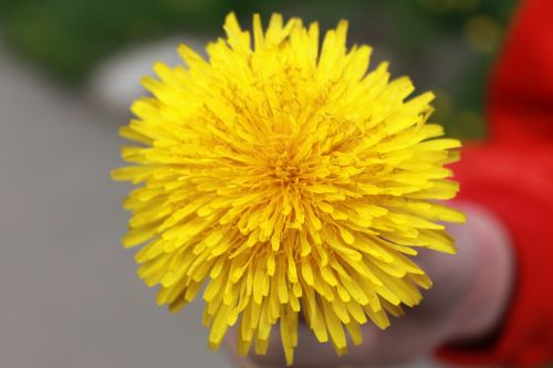 dandelion yellow summer