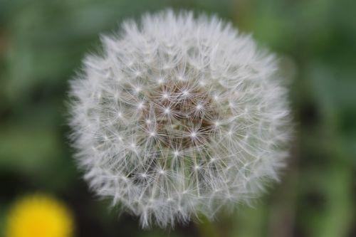 dandelion white summer flowers