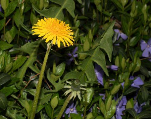 dandelion taraxacum sect ruderalia