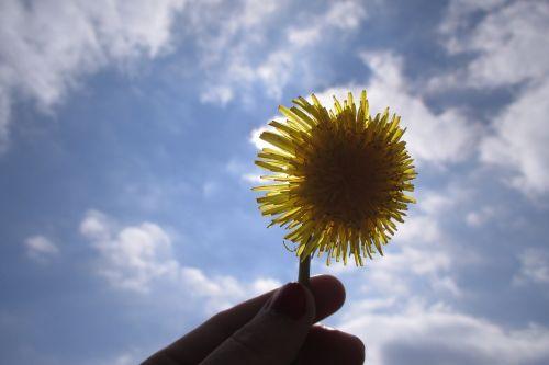 kiaulpienė,gėlė,apšviesti saulę
