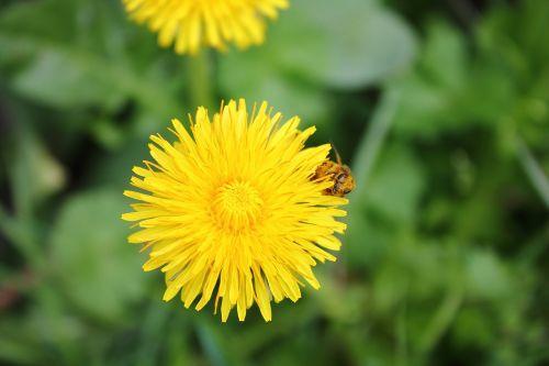 dandelion bee floral dust