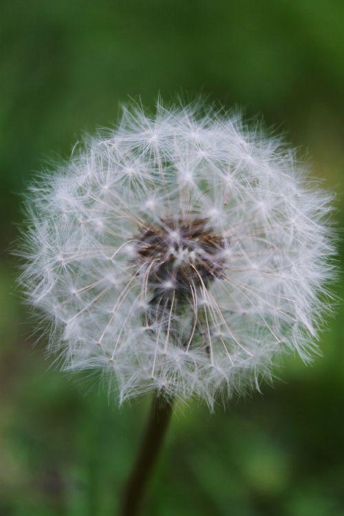 dandelion summer nature