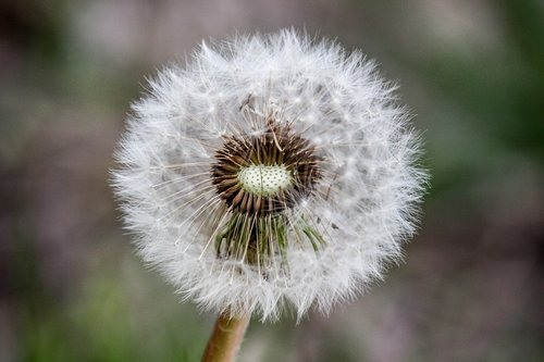 dandelion  nature  flora