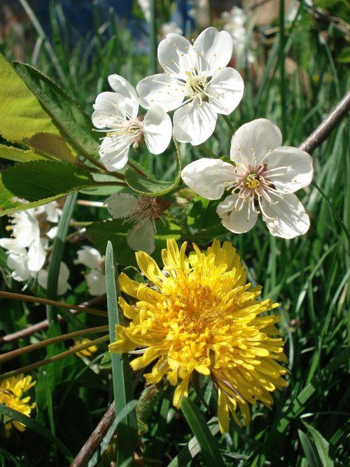 dandelion spring flowers