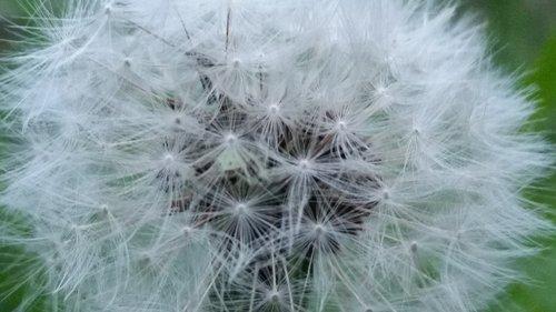 dandelion  nature  downy