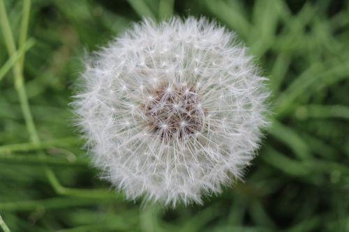 dandelion buttercup common kuhblume