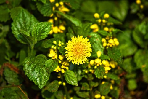 dandelion  flower  plant