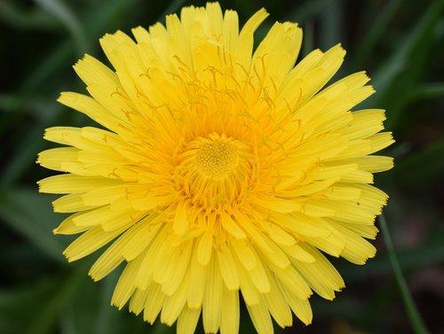 dandelion  bee  nectar