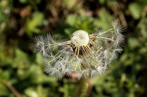dandelion  pointed flower