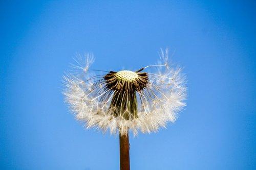 dandelion  downy  sky