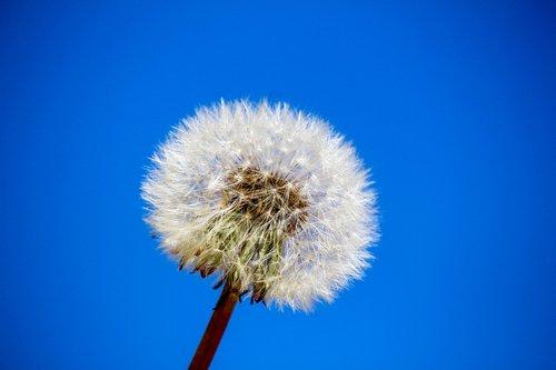 dandelion  downy  nature